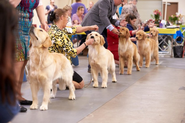 Getting Your Puppy People Primed for Conformation