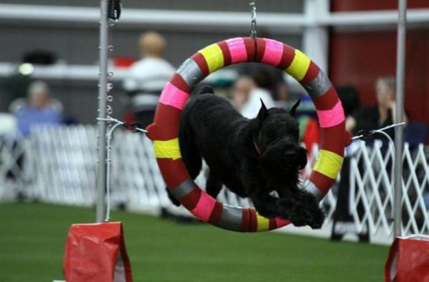 AKC Breeder Spotlight: Mary Falls of Classic Giant Schnauzers